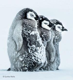 pinguin, penguin Chicks