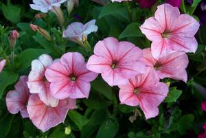 ピンク ペチュニア お花