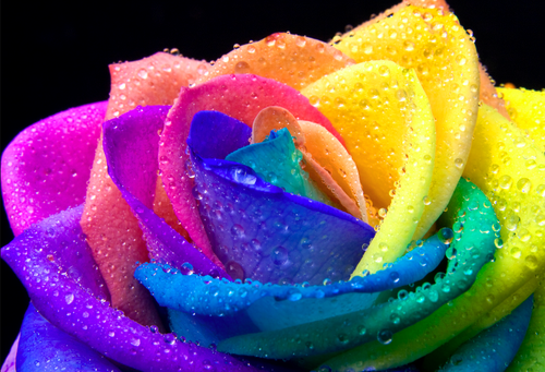 Bright colors images rainbow flowers hd wallpaper and for How to color roses rainbow