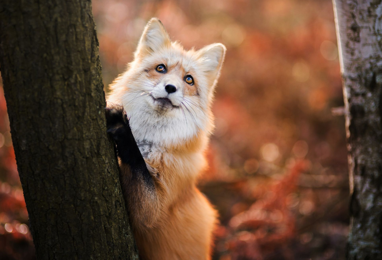 Foxes Images Red Fox In Autumn Hd Wallpaper And Background