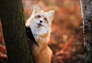 Red renard in Autumn