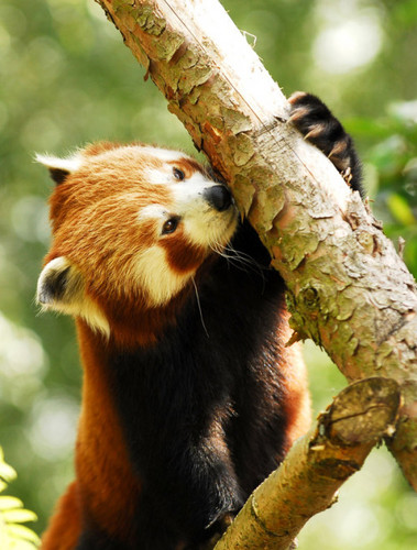 Red Pandas wolpeyper titled Red Panda