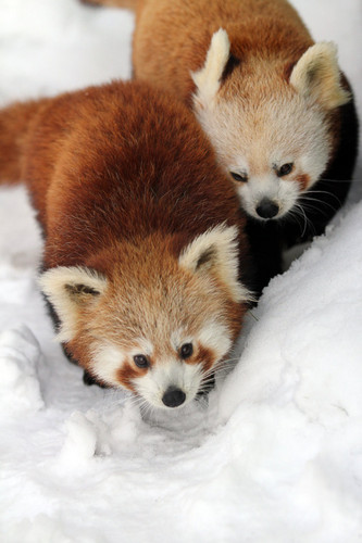 Red Pandas پیپر وال titled Red Pandas in the Snow