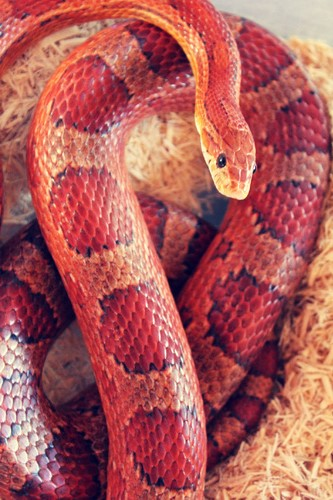 Reptiles Wallpaper Entitled Red Snake