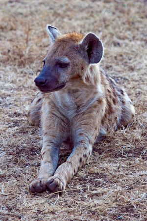 Relaxed Hyena
