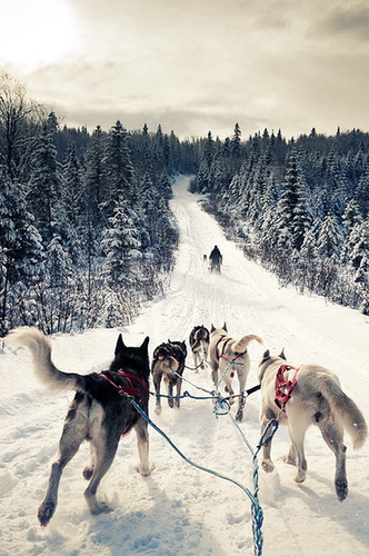 Siberian Huskies wallpaper entitled Sled Team