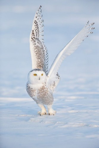 Owls fond d'écran called Snowy Owl