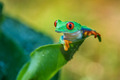 Tree Frog - frogs photo