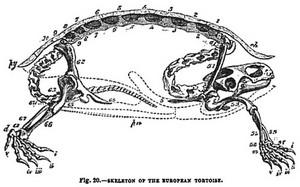 rùa, con rùa Skeleton