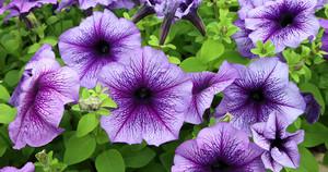 viola petunia fiori