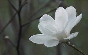 White magnolia bunga