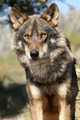 Wolf - wolves photo