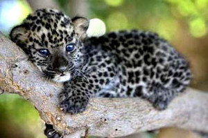 leopard cub baby animals 19832556  1