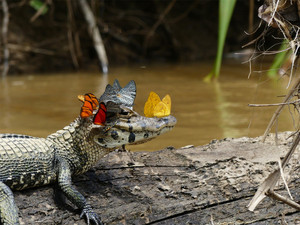 Caiman with mariposas