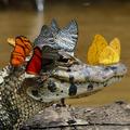 Caiman with Butterflies - butterflies photo