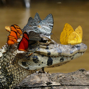 Caiman with Butterflies
