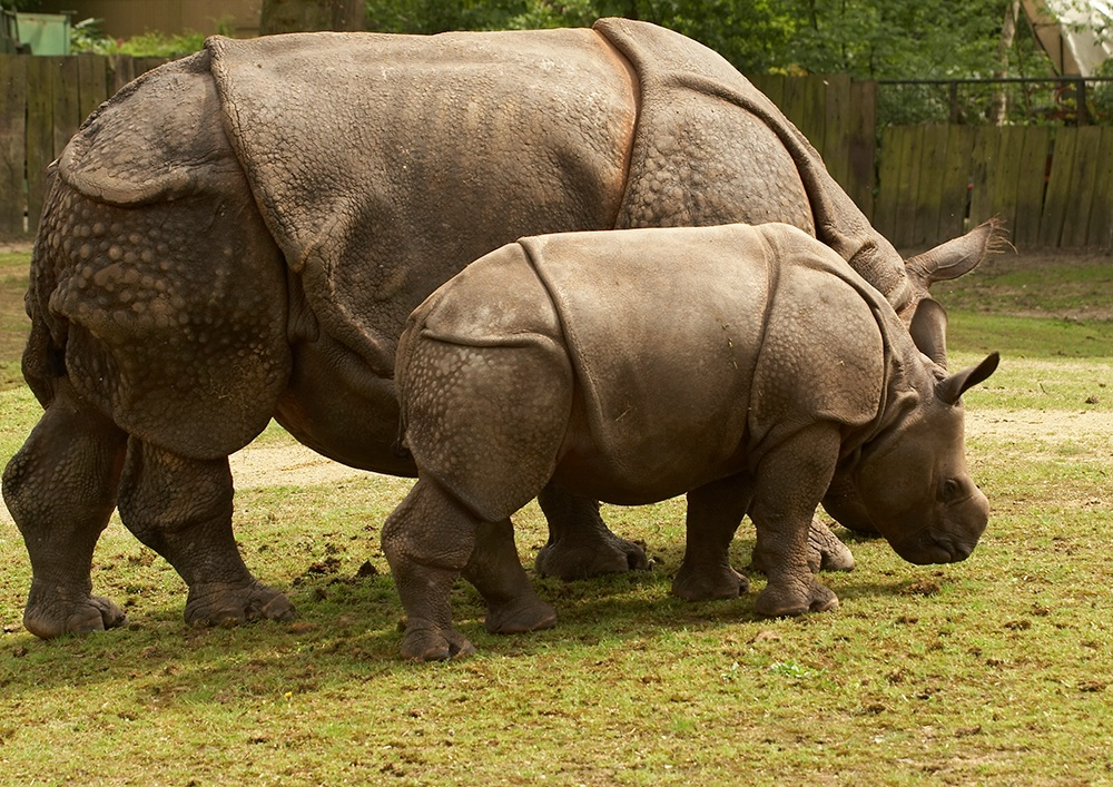 Critically Endangered Javan Rhinoceroses