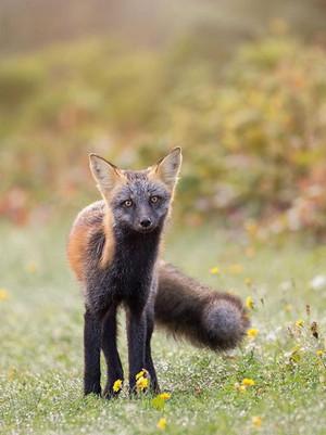 vượt qua, cross cáo, fox