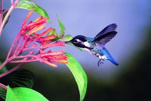 Cuban Bee hummingbird