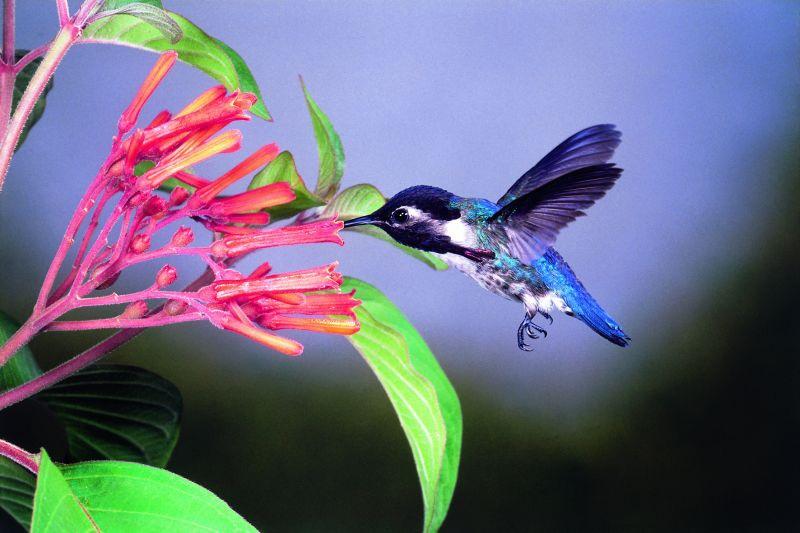 Cuban Bee colibrí