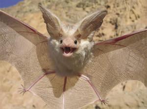 Desert Bat