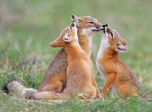 vos, fox Cubs