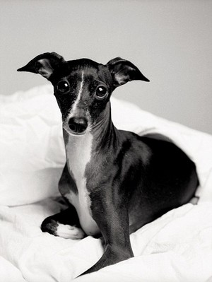 greyhound italia, italian greyhound