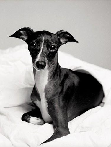 ace2000 پیپر وال called Italian Greyhound