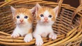 Kittens - cats wallpaper
