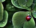 Ladybug - ladybugs photo