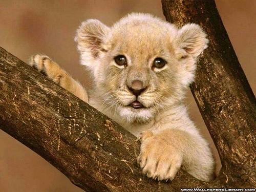 ace2000 fondo de pantalla entitled Lion Cub