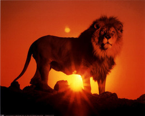 Lion over the sunset all about lions 31290618 400 318