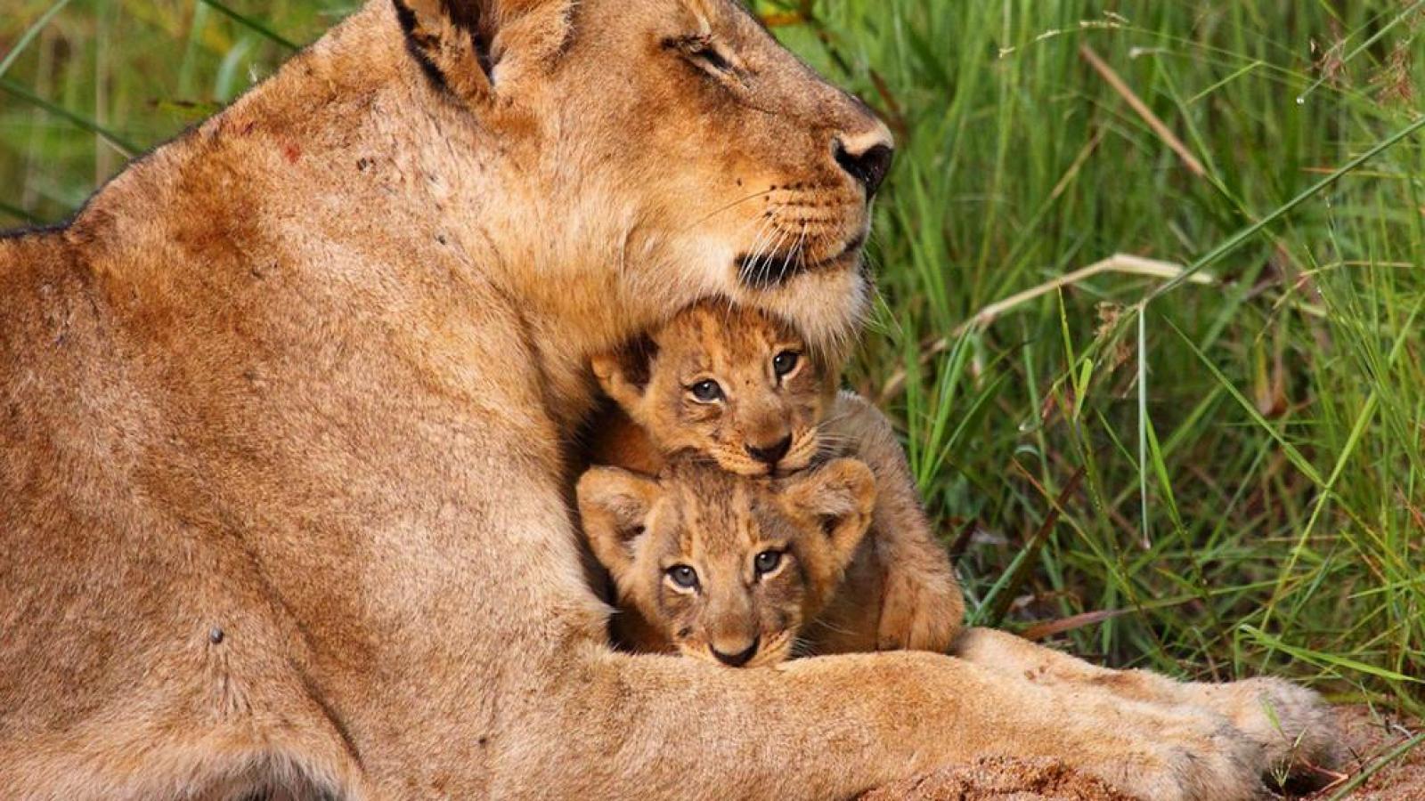壁纸 动物 狮子 桌面 1600_900
