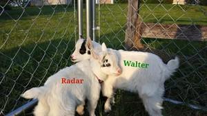 Meet my Baby Pygmy Goats!!! 💘