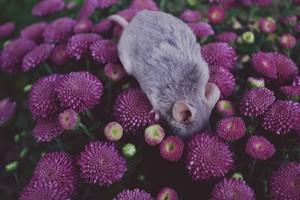 tikus in the Bunga