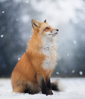 Snow vos, fox