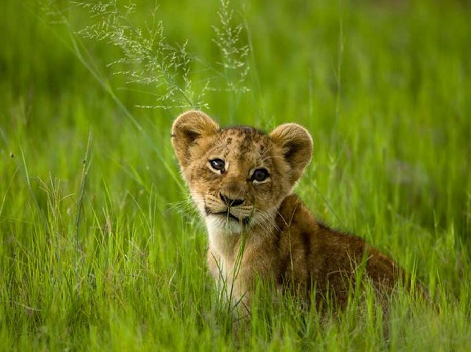 Lion cubs images cute lion cubs HD wallpaper and background photos