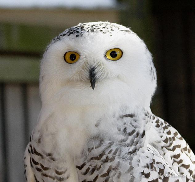 An owl that resembles Skipper