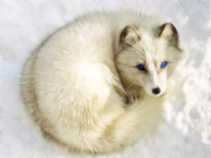 Arctic cáo, fox