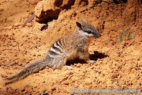 ace2000 fondo de pantalla called Baby Numbat