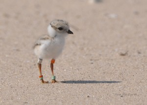 Baby Piping piviere, plover