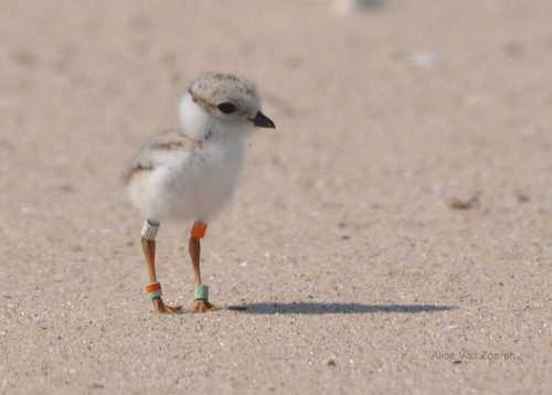 ace2000 پیپر وال entitled Baby Piping plover, پلووار