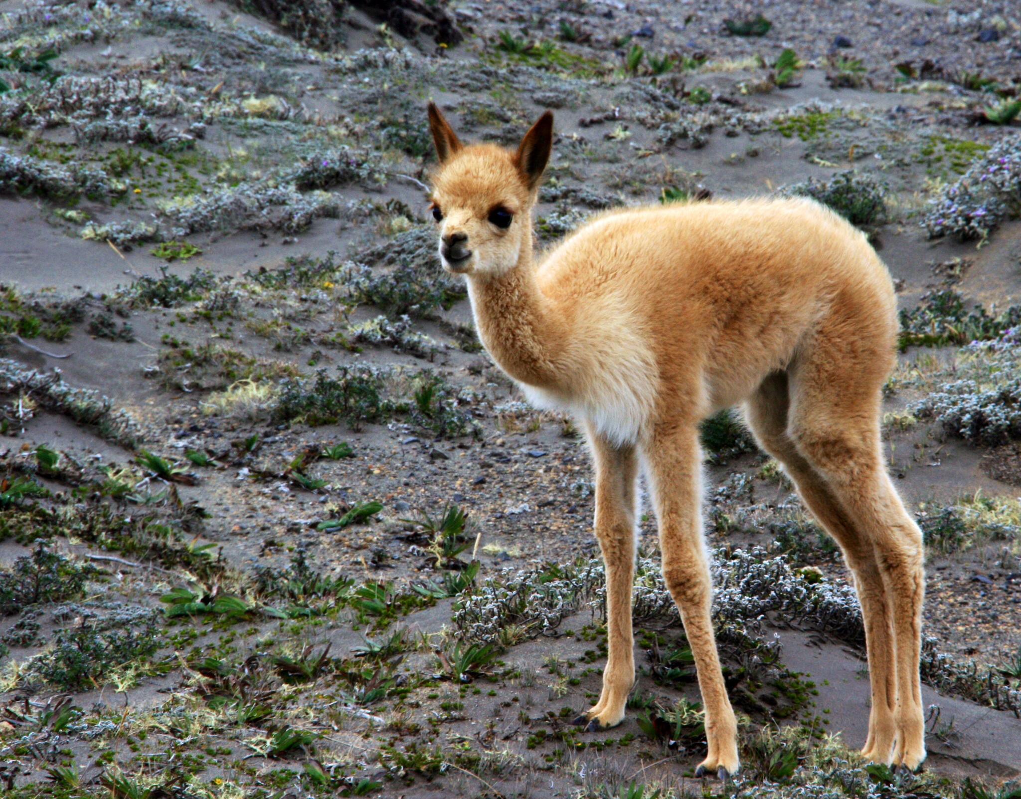 Baby Vicuña
