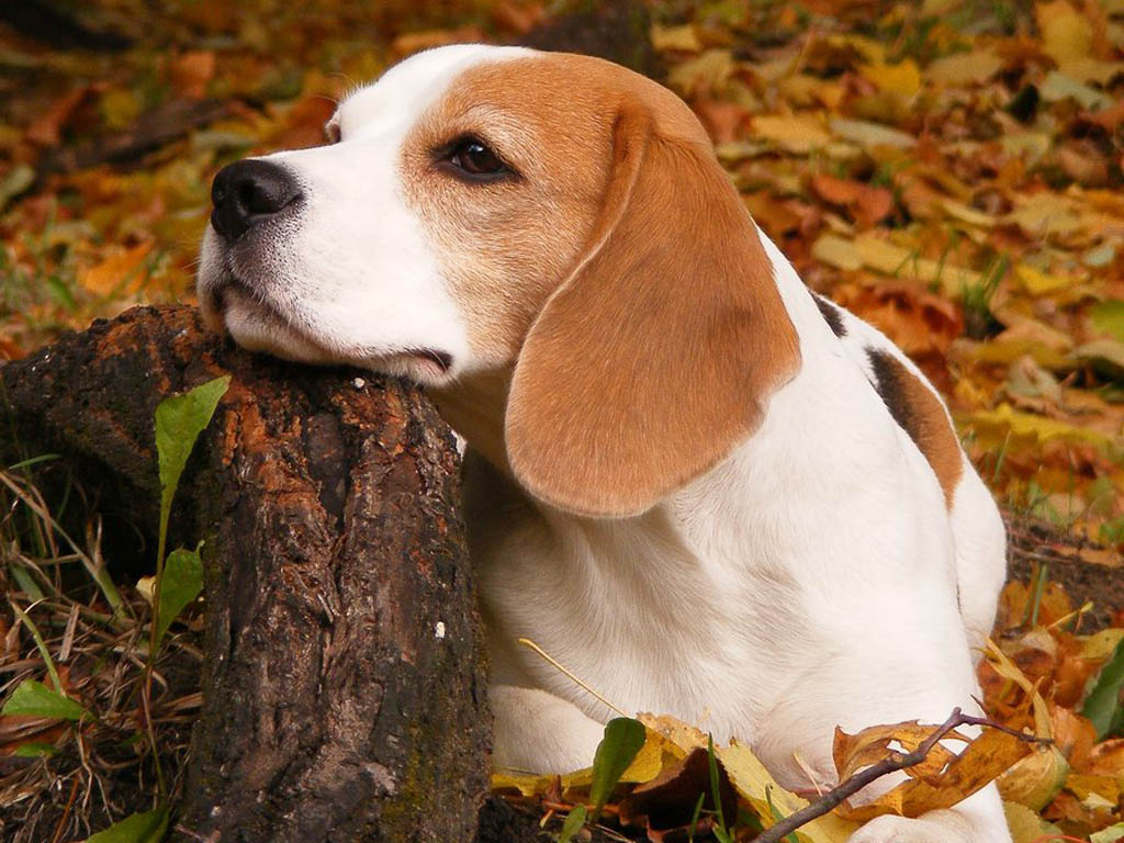 Pictures of a Beagle Puppy on Animal Picture