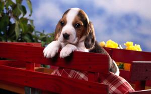 chó săn nhỏ, beagle