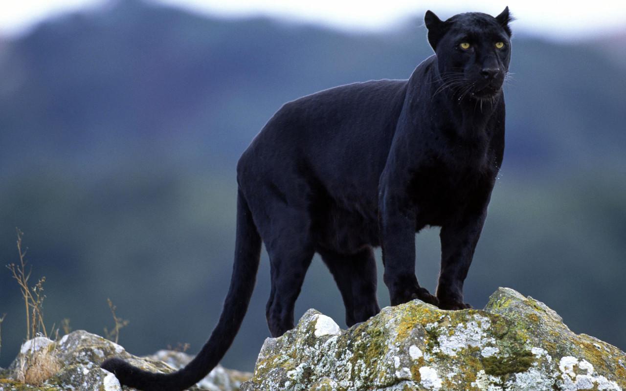 Black panther animals 13128434 1280 800