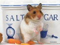 Hamster - hamsters wallpaper