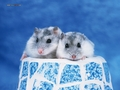 Hamsters - hamsters wallpaper