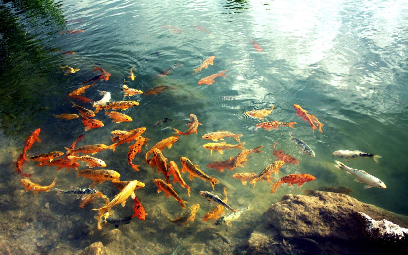 THREE FISH FEEDING Fish Animals Background Wallpapers on Desktop