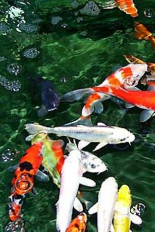 Koi Carp Fish Photo 40436951 Fanpop